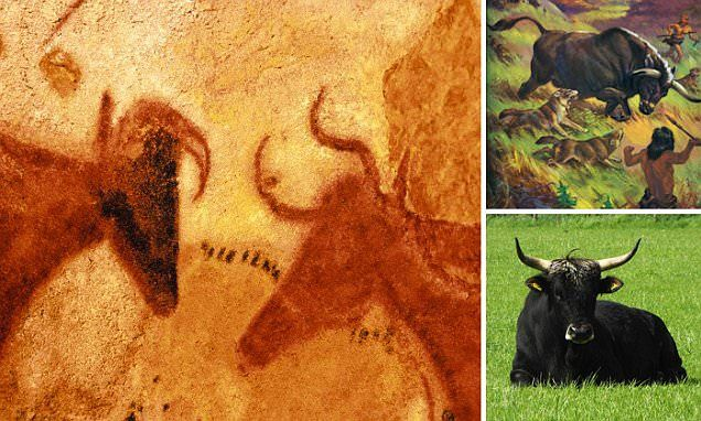 The extinct heavy cattle could graze European plains again, as scientists are trying to 'resurrect' them from genes found in modern cattle. Aurochs were recorded by cave men in striking paintings at Lascaux, France, 17,000 years ago. An example of one of the paintings is shown above