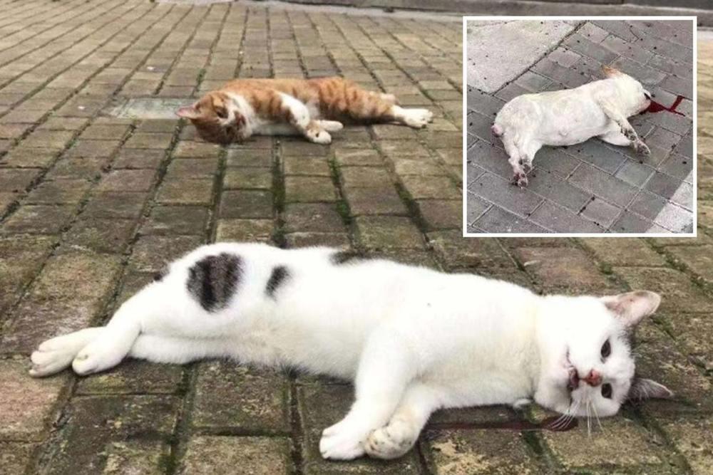 coronavirus  u2014 cats and dogs  u2018thrown from tower blocks u2019 in