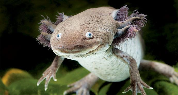 Wild Axolotl Salamander