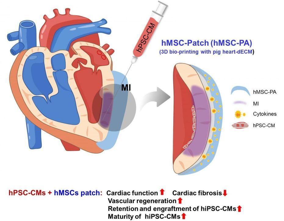 Novel dual stem cell therapy improving cardiac regeneration