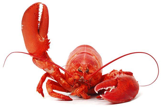 Image result for lobster medical