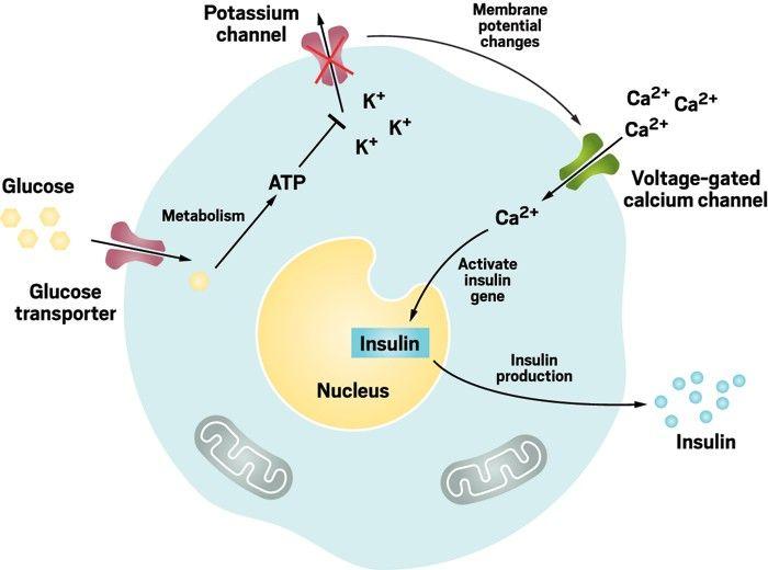 Diabetes-Ernährung mit Kalium und Magnesium - diabetes.moglebaum.com