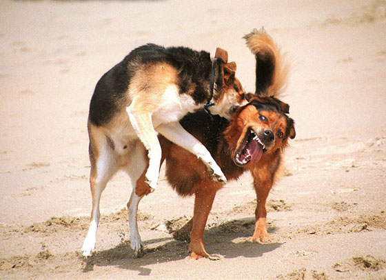 http://lifeboat.com/images/dogs.fighting.jpg
